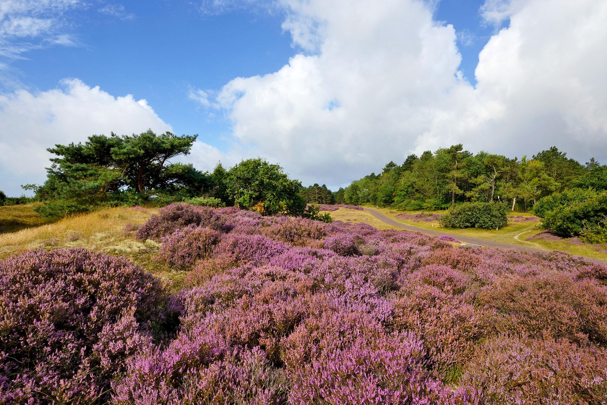 Velden met paarse, bloeiende struikhei (Calluna vulgaris) tijdens zomer in het Noordhollands Duinreservaat bij Bergen