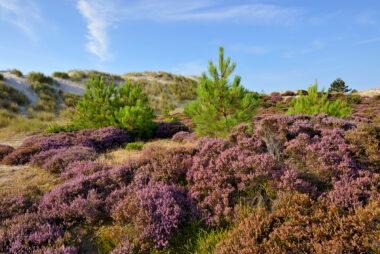 Paars bloeiende struiken struikhei (Calluna vulgaris) in de luwte van zanderige duinhelling in de Schoorlse Duinen bij Hargen aan Zee.