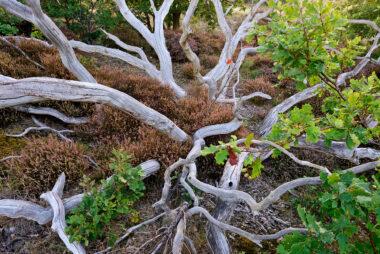 Witte, verweerde takken van dode boom tussen heide in het Noordhollands Duinreservaat bij Bergen