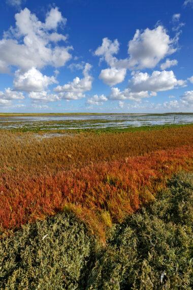 Rode kleuren van zeekraal (Salicornia europaea) in de herfst op de kwelder van vogelreservaat De Volharding bij De Cocksdorp op het waddeneiland Texel.