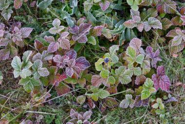 Met rijp bedekte, rood verkleurde bladeren van dauwbraam tijdens een koude ochtend in het Noordhollands Duinreservaat bij Egmond-Binnen.