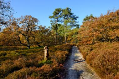 Zanderig wandelpad langs heideveld, eiken en naaldbomen tijdens een zonnige herfstdag in het Noordhollands Duinreservaat bij Bergen.