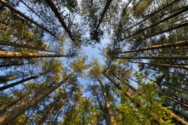 Zicht vanaf onderen op de boomstammen, takken en toppen van naaldbos in de Schoorlse Duinen.