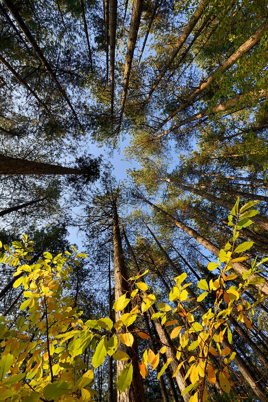 Zicht vanaf onderen op de boomstammen, takken en toppen van het naaldbos in de Schoorlse Duinen.