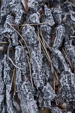 Rijp en dennennaalden op de boomschors van een omgevallen naaldboom in de Schoorlse Duinen bij Groet.