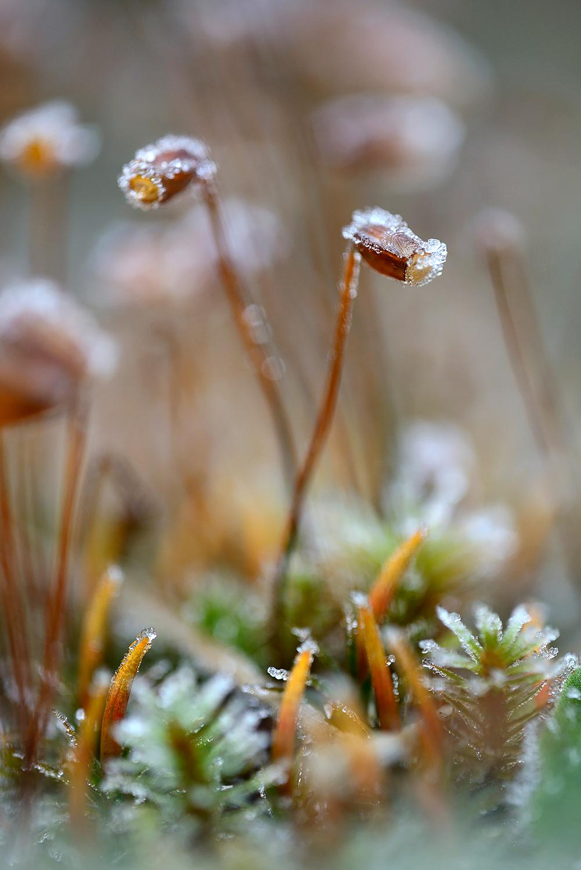 Laagje rijp op de sporenkapsels van mos na een koude nacht in de Schoorlse Duinen bij het dorpje Groet.