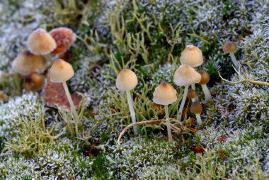 Laagje rijp op een groepje paddenstoelen na een koude nacht in de Schoorlse Duinen bij het dorpje Groet