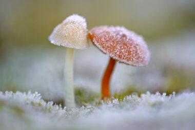 Witte ijskristallen van rijp op de hoed van twee paddenstoelen na een koude nacht in de Schoorlse Duinen bij het dorpje Groet