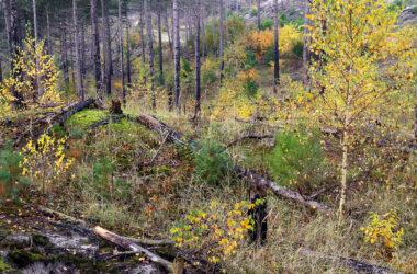 Jonge boompjes met herfstblad tussen zwart geblakerde boomstammen in het verbrande naaldbos van de Schoorlse Duinen bij Groet