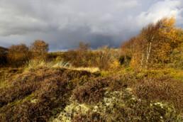 Wolkenlucht en regenbui boven mos, struiken heide en berkenbosje tijdens herfst in de duinen bij Petten.