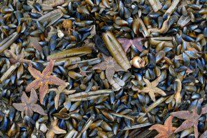 Aangespoelde schelpen en zeesterren langs de vloedlijn na een storm op het strand van Wijk aan Zee