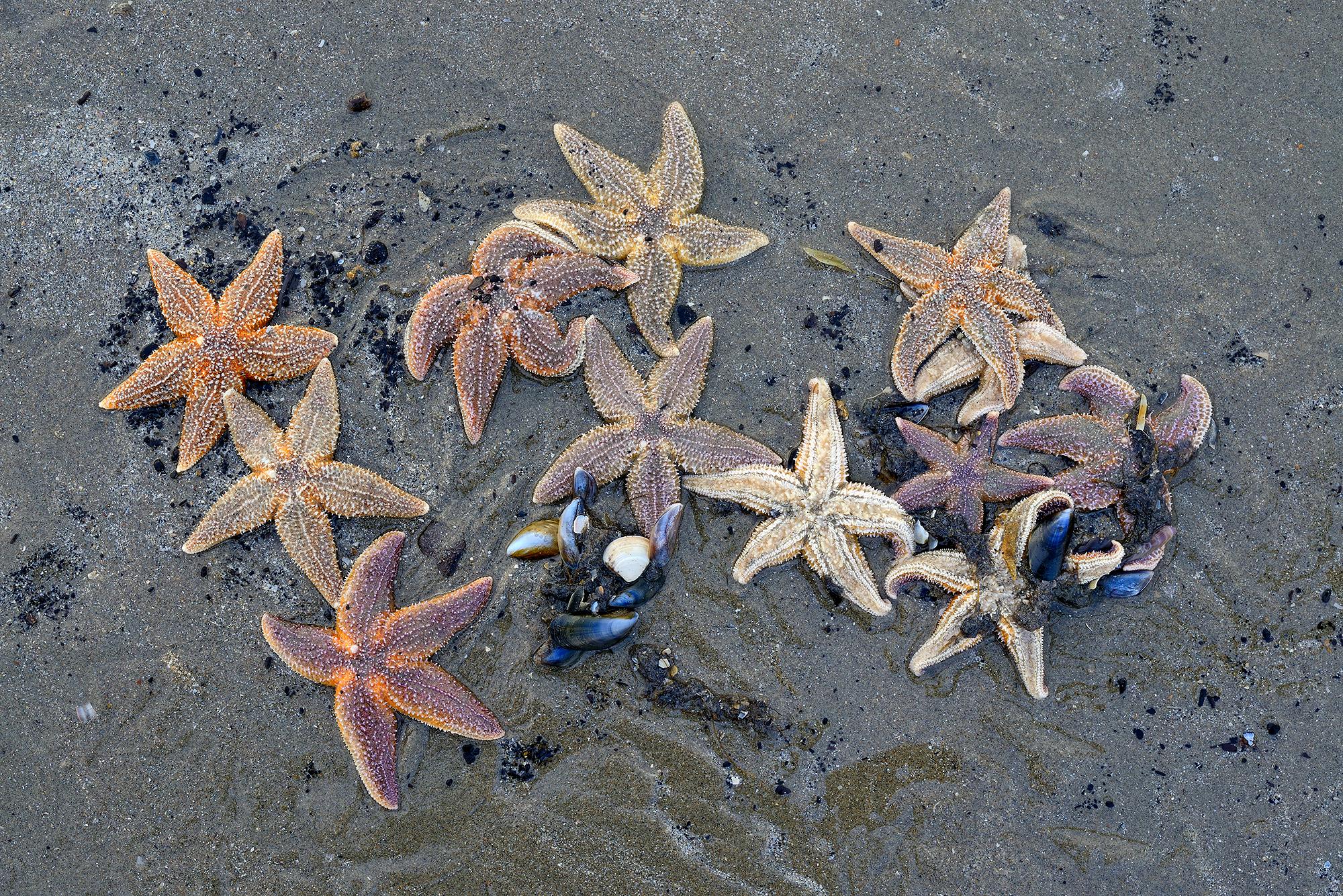Aangespoelde zeesterren (Asterias rubens) langs de vloedlijn na een winterstorm op het strand van Wijk aan Zee.
