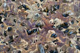 Opeengepakte massa van aangespoelde zeesterren (Asterias rubens) langs de vloedlijn na winterstorm op het strand van Wijk aan Zee