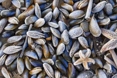 Laagje rijp op een aangespoelde zeester en schelpen van mossel na een koude winternacht op het strand van Heemskerk.