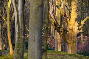 Warm licht van zonsopkomst schijnt op boomstammen van beuken in het bos van Landgoed Elswout bij Overveen