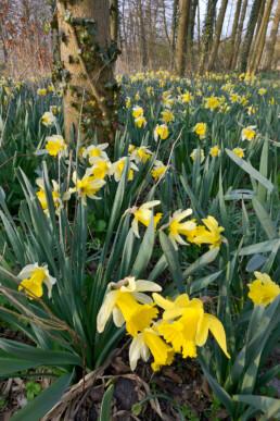 Gele bloemenzee van bloeiende narcissen (Narcissus) tijdens voorjaar in het bos van Landgoed Marquette bij Heemskerk.