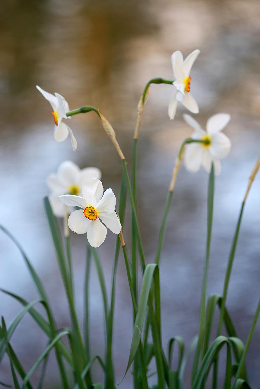 Bloeiende dichtersnarcis (Narcissus poeticus) met witte bloemen aan de waterkant tijdens lente op Landgoed Elswout bij Overveen.
