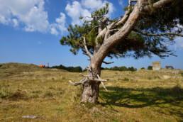 Enkele naaldboom in het open duinlandschap van de Grafelijkheidsduinen bij Den Helder.