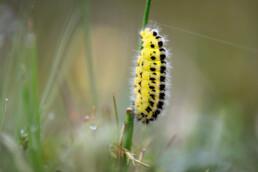 Gele rups met zwarte stippen van sint-jansvlinder (Zygaena filipendulae) op grasstengel in de duinen van het Noordhollands Duinreservaat bij Egmond aan den Hoef.