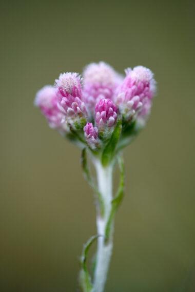 Roze bloemhoofdjes van bloeiend rozenkransje (Antennaria dioica) in de duinen van het Noordhollands Duinreservaat bij Bergen aan Zee.