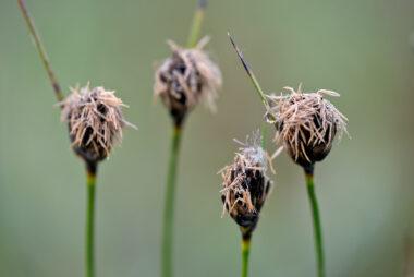 Stengels met bloeiend knopbies (Schoenus nigricans) in de natte duinvallei van het Kennemermeer bij IJmuiden.