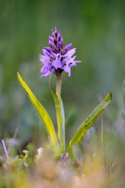 Ochtendlicht schijnt op stengel en paarse bloemen van rietorchis (Dactylorhiza praetermissa) in de natte duinvalleien van het Kennermeer bij IJmuiden.