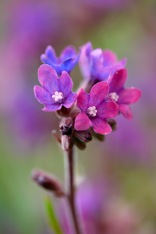 Paarse bloemen van gewone ossentong (Anchusa officinalis) in het zeedorpenlandschap van het Noordhollands Duinreservaat bij Wijk aan Zee.