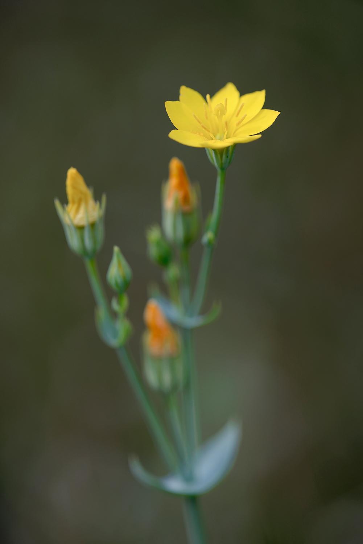 Gele bloem van herfstbitterling (Blackstonia perfoliata) in de natte duinvallei van het Kennemermeer bij IJmuiden.