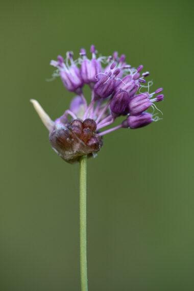 Paarse bloemen van bloeiend kraailook (Allium vineale) in de Kwade Hoek van Duinen van Goeree.
