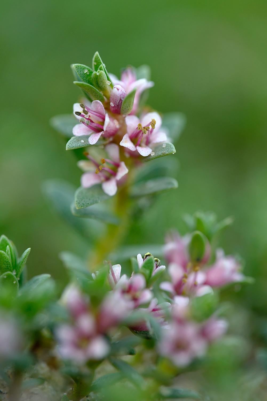 Stengel en roze bloemen van bloeiend melkkruid (Glaux maritima) aan de rand van een kreek in de Kwade Hoek van de Duinen van Goeree.