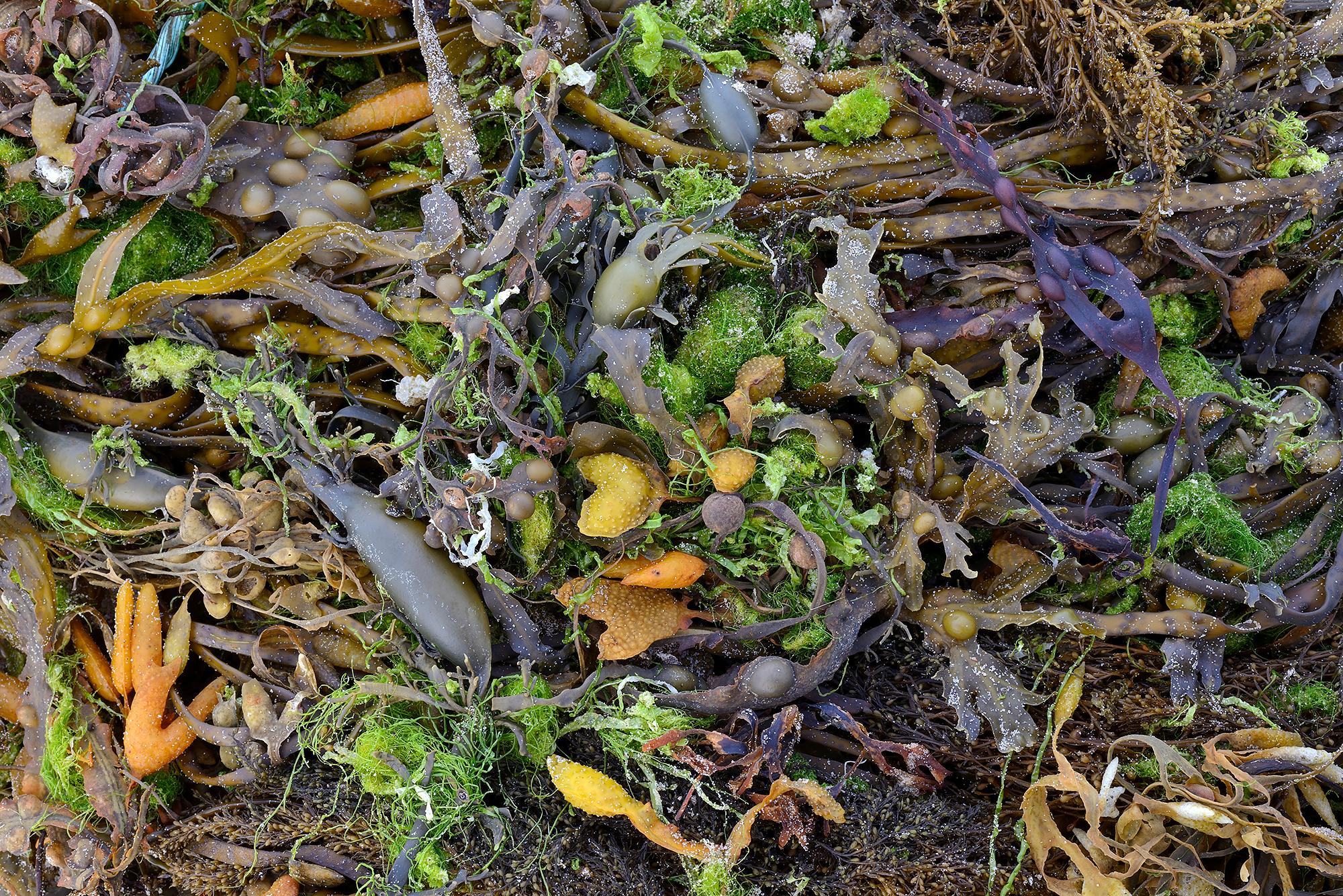 Verzameling van aangespoelde wieren in het vloedmerk op het strand van Egmond aan Zee.