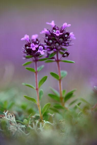 Twee stengels en kleine, paarse bloemen van grote tijm (Thymus pulegioides) in de duingraslanden van het Noordhollands Duinreservaat bij Bakkum.