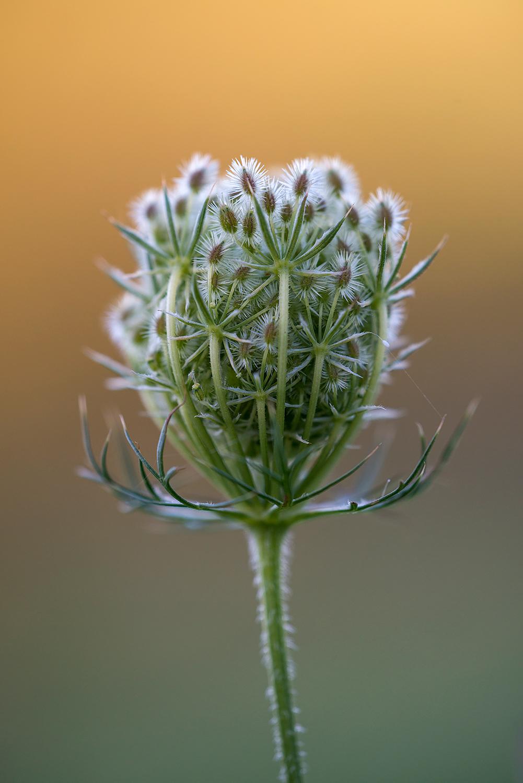 Stengel en ingeklapt bloemscherm met zaadjes van wilde peen (Daucus carota) in het Noordhollands Duinreservaat bij Wijk aan Zee.