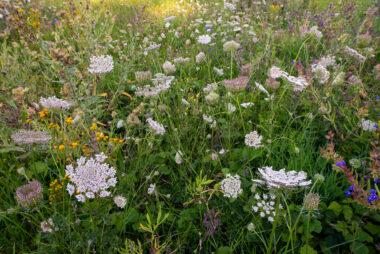 Veld met wilde peen (Daucus carota) en andere bloemen in het zeedorpenlandschap van het Noordhollands Duinreservaat bij Wijk aan Zee.