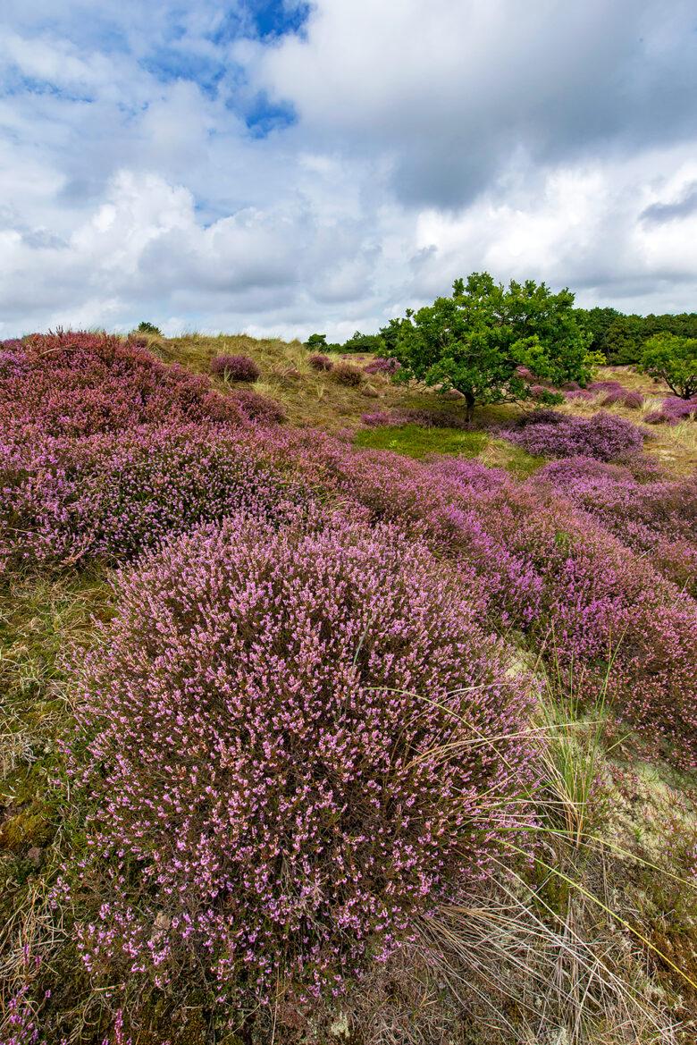 Paarse struiken van bloeiende heide (Calluna vulgaris) tijdens zomer in de duinen van het Noordhollands Duinreservaat bij Bergen.