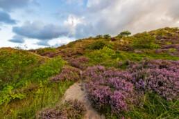 Zanderig struinpaadje loopt langs paarse struiken van bloeiende heide in de Schoorlse Duinen bij Hargen aan Zee.