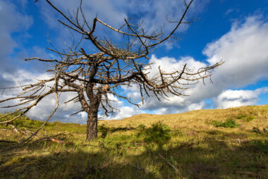 Blauwe lucht en witte wolken boven verbrande, dode naaldboom in het duinlandschap van de Schoorlse Duinen.