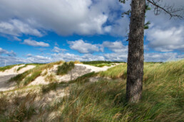 Naaldboom aan de rand van het stuifduin Baaknol in de Schoorlse Duinen bij Hargen aan Zee.