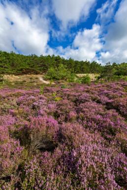 Paarse struiken van bloeiende heide (Calluna vulgaris) in de Schoorlse Duinen bij Hargen aan Zee.