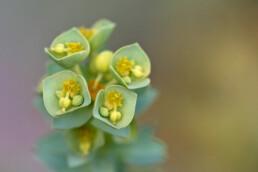 Groenblauwe bloemen van zeewolfsmelk (Euphorbia paralias) in de zeeduinen van de Kwade Hoek op het eiland Goeree.