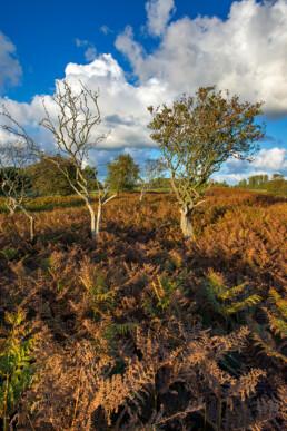 Boompjes in een veld vol adelaarsvarens (Pteridium aquilinum) in de Amsterdamse Waterleidingduinen bij De Zilk.