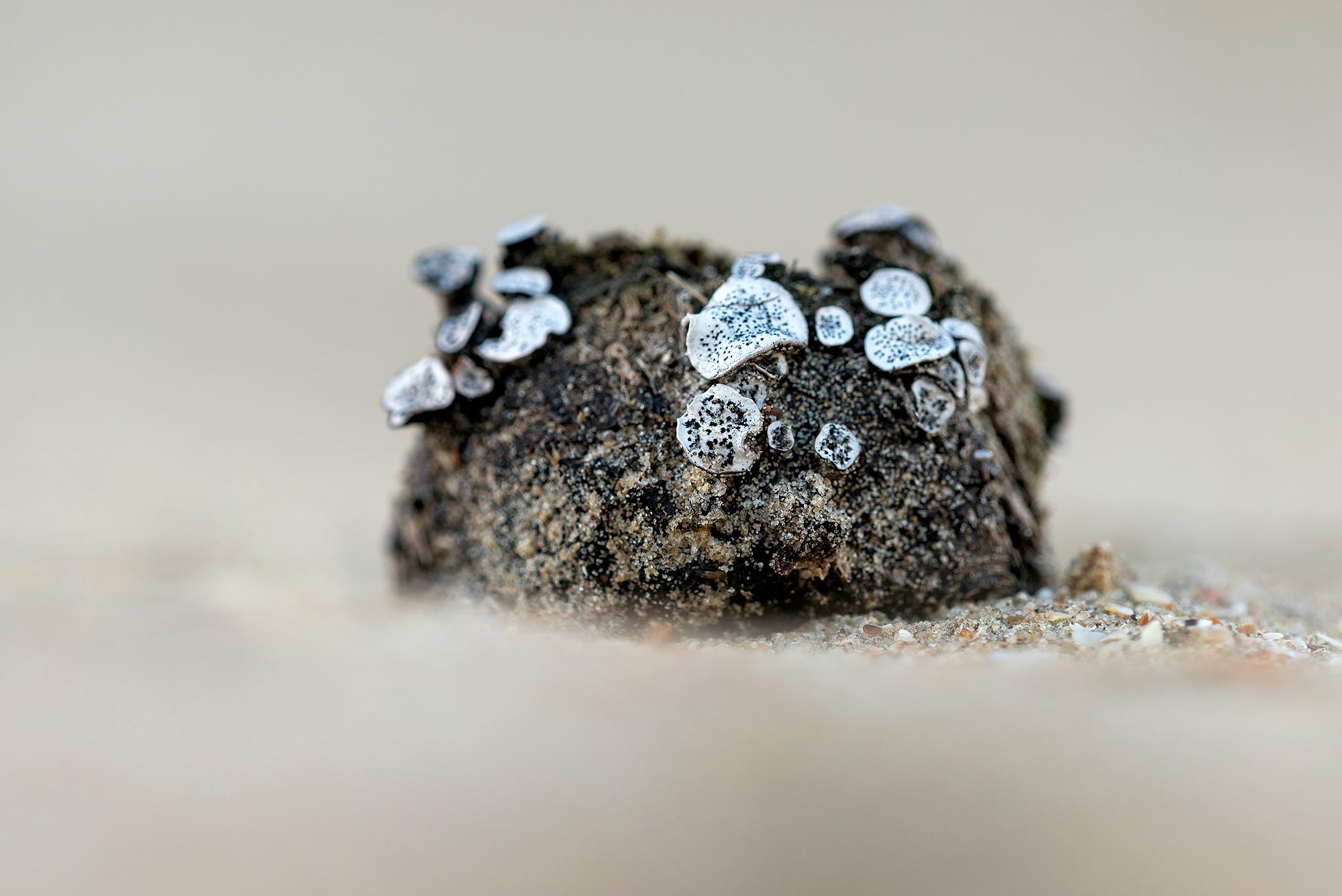Grote speldenprikzwam (Poronia punctata)op mest in de duinen van het Nationaal Park Zuid-Kennemerland bij Bloemendaal aan Zee