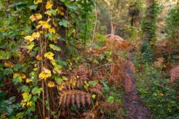 Smal struinpaadje door dichte vegetatie van bramen en varens tijdens herfst in het bos in het Noordhollands Duinreservaat bij Heemskerk