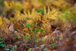 Gele en bruin verkleurde adelaarsvaren (Pteridium aquilinum) tijdens herfst in het bos van het Noordhollands Duinreservaat bij Heemskerk