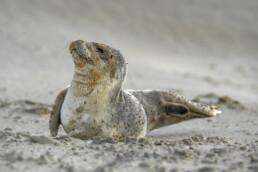 Pup van gewone zeehond (Phoca vitulina) rustend na een storm op het strand van Wijk aan Zee