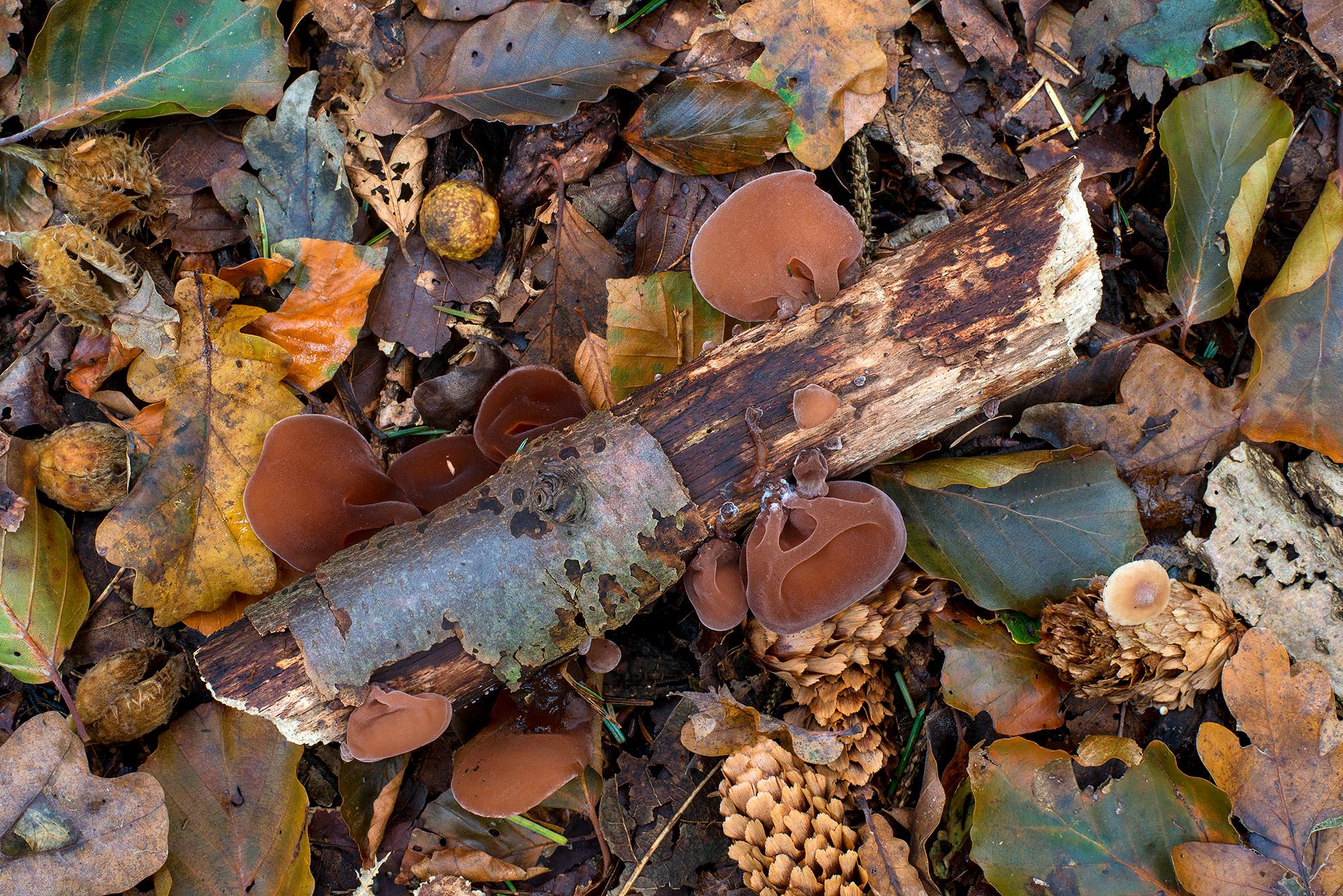 Echt judasoor (Auricularia auricula-judae) op afgebroken tak tussen herfstbladeren in het bos van het Noordhollands Duinreservaat bij Heemskerk