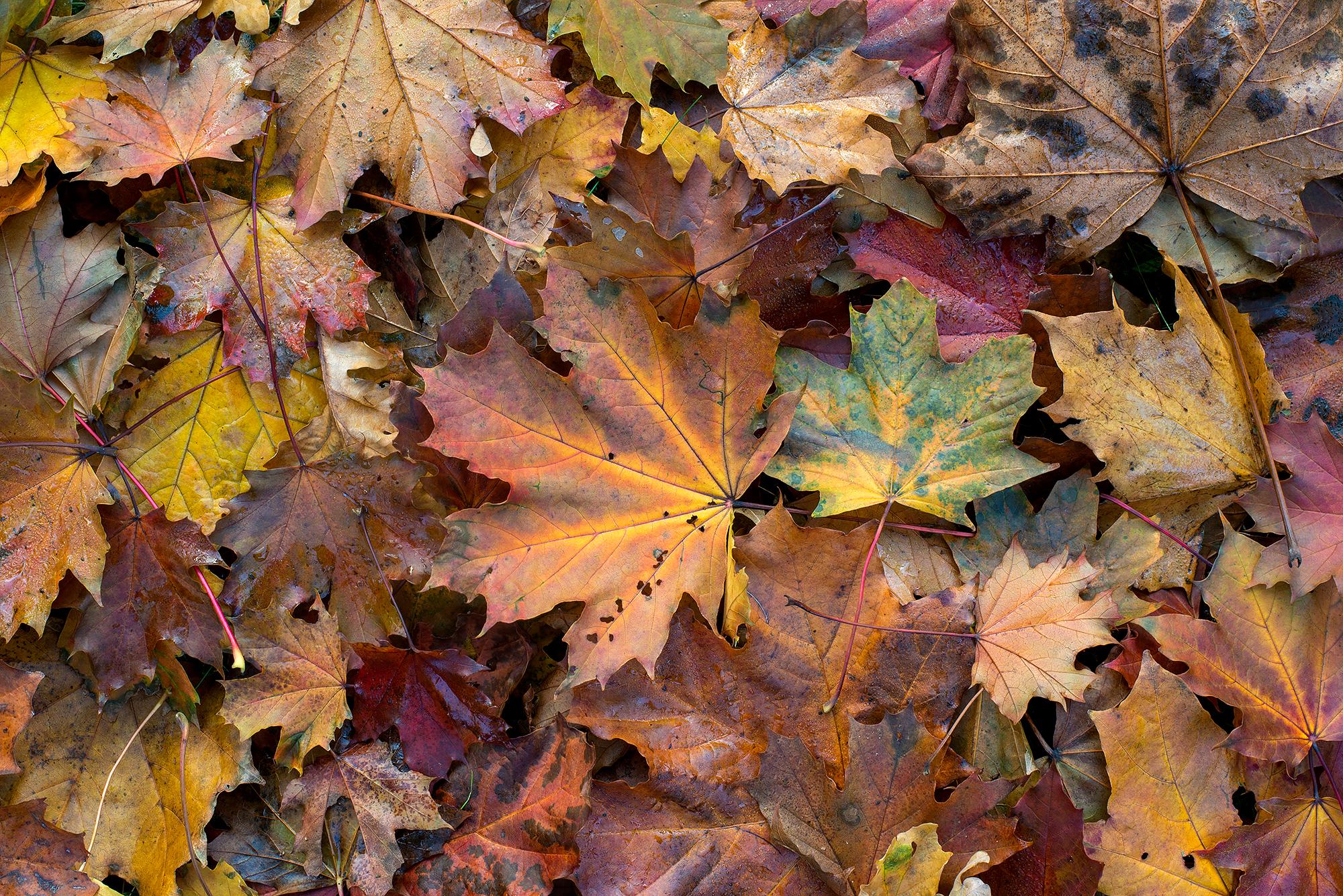 Gevallen, verkleurd herfstblad van Noordse esdoorn (Acer platanoides) tijdens herfst in het duinbos van het Noordhollands Duinreservaat bij Heemskerk.