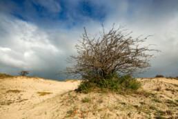Wolken van naderende regenbui boven een meidoorn en het kale zand van stuifduinen in Meijendel bij Wassenaar.