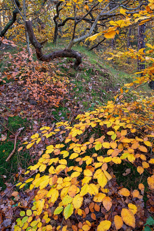 Gele herfstbladeren van beuk in het bos bovenop een duintop van het Noordhollands Duinreservaat bij Bergen.