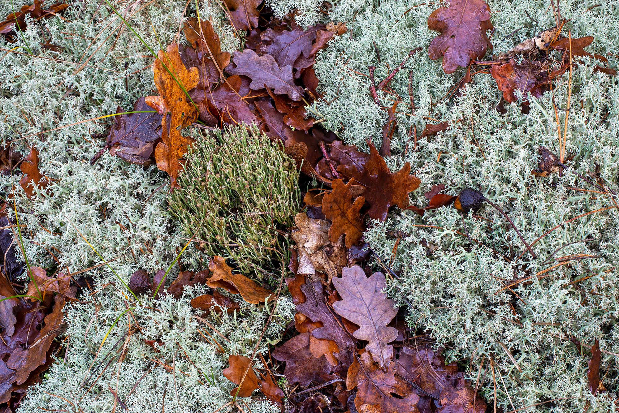 Verzameling van mossen en korstmossen op een duinhelling in het bos van het Noordhollands Duinreservaat bij Bergen.